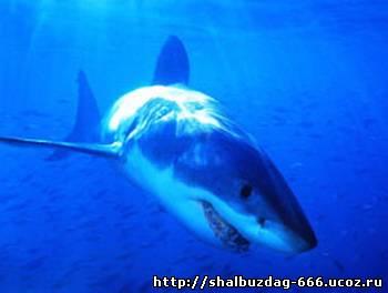 Большая акула в мире не ест людей
