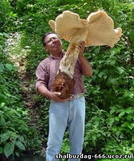 Гигантский мексиканский гриб весом 20-ть кг.