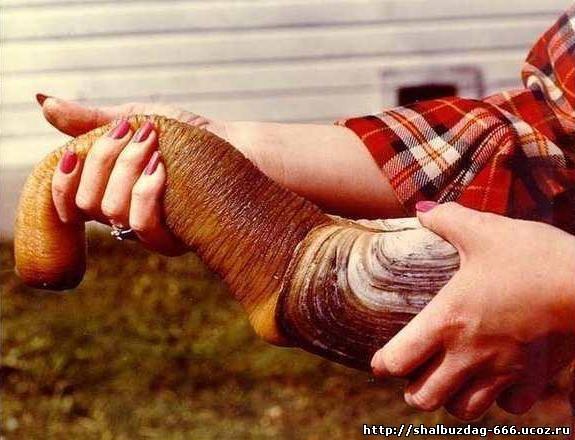 Самый большой моллюск в мире - Гиодак/Гуидак (12 фото)