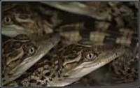 Появление на свет редких сиамских крокодилов