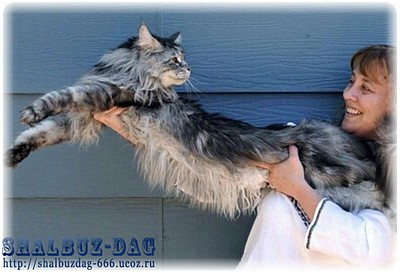 Стюи – самый длинный домашний кот в мире